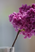 British Lilac at home...