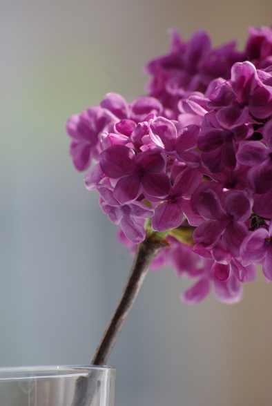 British Lilac at home...