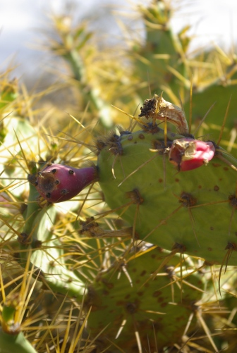 Cactus in the Spanish desert...