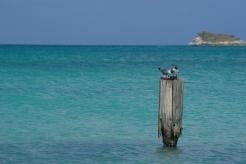 Caribbean birdies..